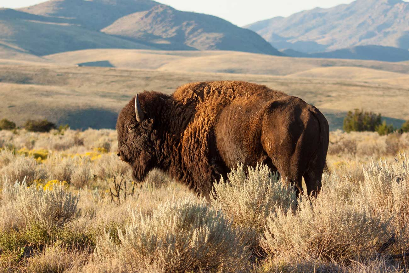 Bison at Ted Turner's Ladder Ranch. Photo by Ken Stinnett.