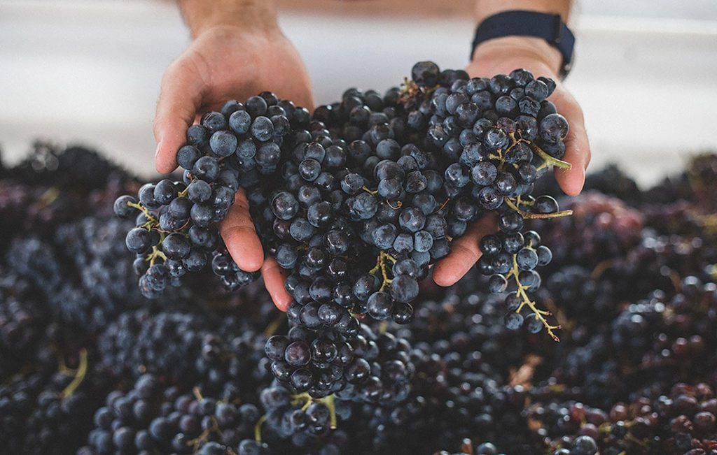 a hand full of freshly picked grapes ready to be made into Rio Grande Winery Wine